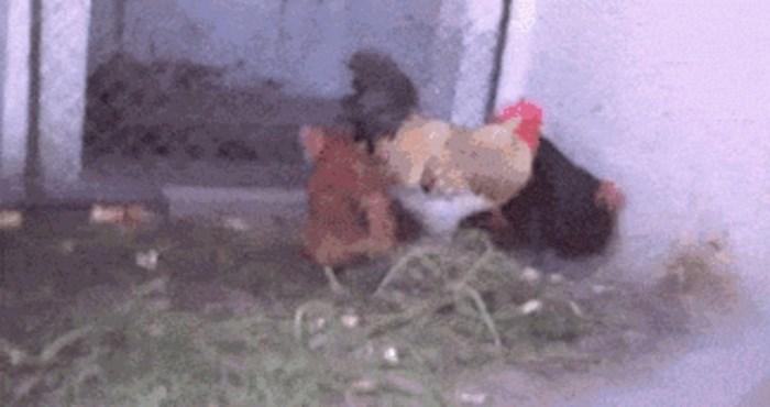 Ratoborna kokoš suočila se s nogometnom loptom, morate vidjeti što je uspjela
