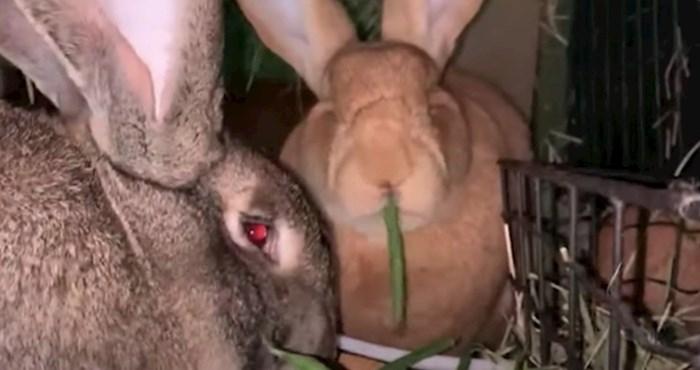 VIDEO Upoznajte divovske zečeve koji mjesečno pojedu voća i povrća u vrijednosti od 200 funti