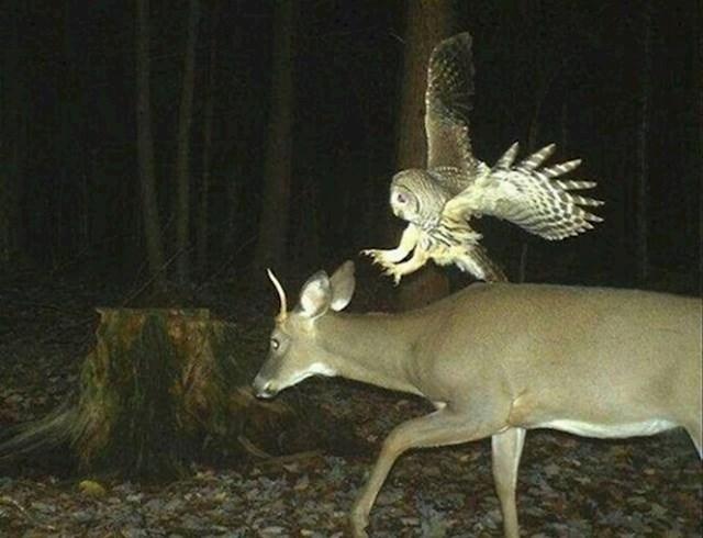 Sova napada mladog jelena.
