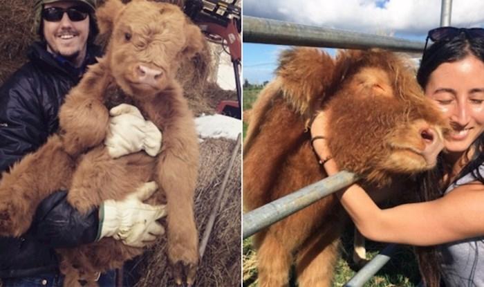 22 fotke koje će vam pokazati da su krave zapravo preslatki nježni divovi