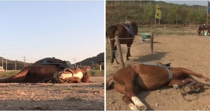 VIDEO Ovaj lijeni konj pravi se mrtav svaki put kad ga netko proba zajašiti
