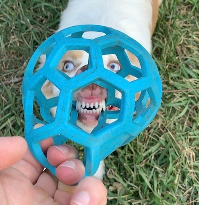 6. Lice mojeg psa izgleda stravično dok ga promatrate kroz njegovu omiljenu igračku