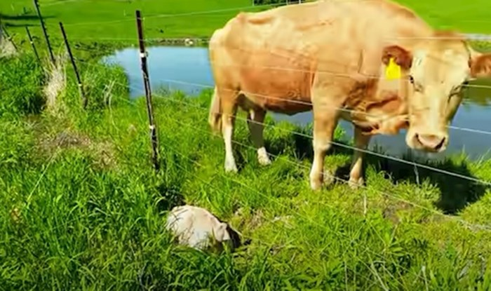 VIDEO Krava je čovjeka zvala u pomoć, nije mogao vjerovati kad je shvatio zašto