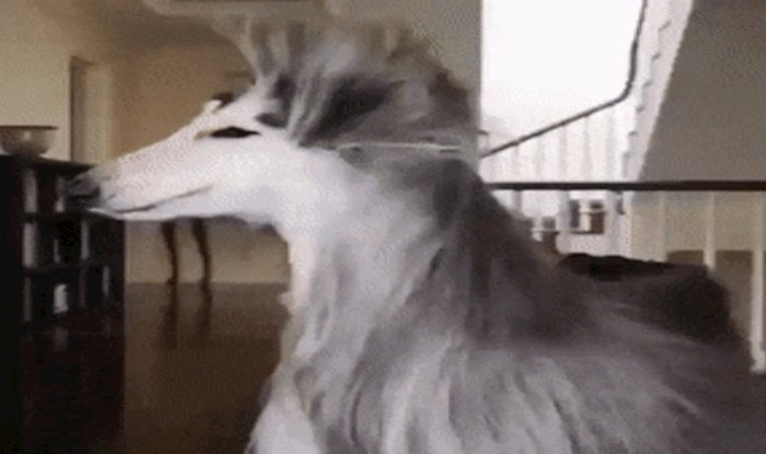 Dlaka ovog psa izgleda toliko glamurozno da bi trebao reklamirati šampon za kosu
