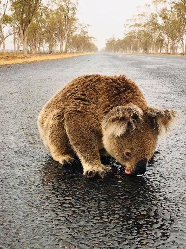 Koala pije vodu iz lokve nakon požara u Australiji.