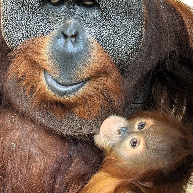 Na iznenađenje svih timaritelja, brigu o orangutanici Cerah preuzeo je njezin otac Berani.