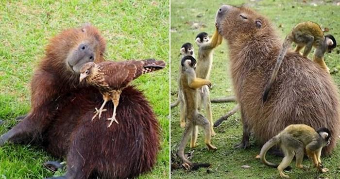 20 fotki koje dokazuju da su kapibare životinje koje se mogu sprijateljiti sa svima
