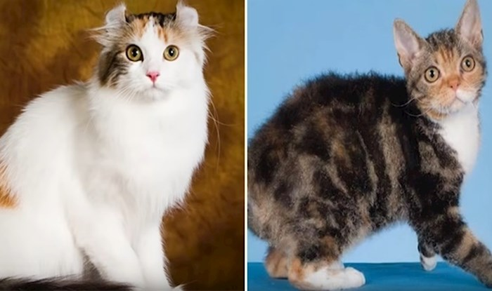 VIDEO Ovih 10 vrsta mačaka najskuplje su na svijetu