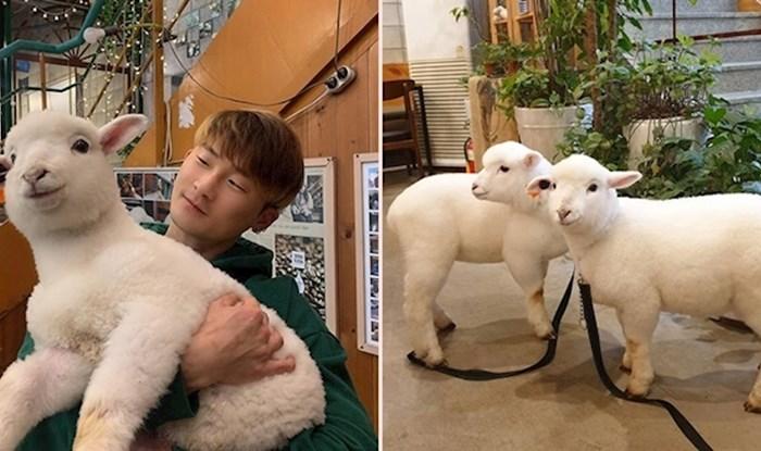 U Južnoj Koreji postoji kafić u kojem možete maziti ovce i djeluje neodoljivo slatko