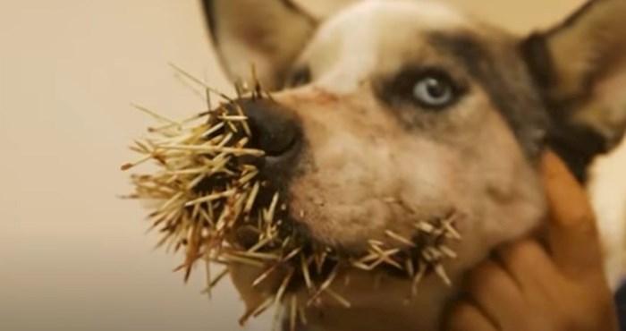VIDEO smiješne životinje koje je znatiželja skoro koštala glave