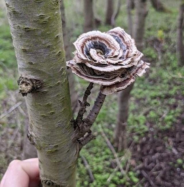 13. Gljiva u obliku ruže