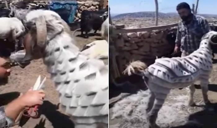 VIDEO Pastir iz Turske postao je hit na internetu zbog genijalnih frizura koje radi svojim ovcama