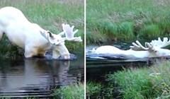 VIDEO Pogledajte rijetku snimku potpuno bijelog losa