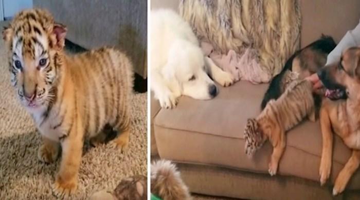 VIDEO Pogledajte kako izgleda briga za dva mala tigra