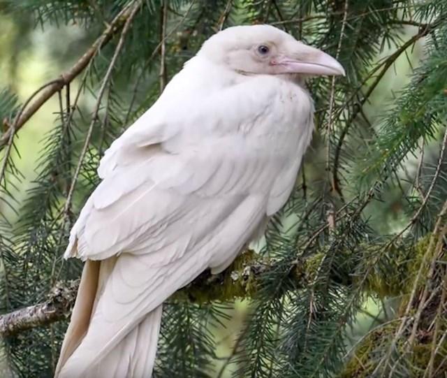#9 Bijela vrana.