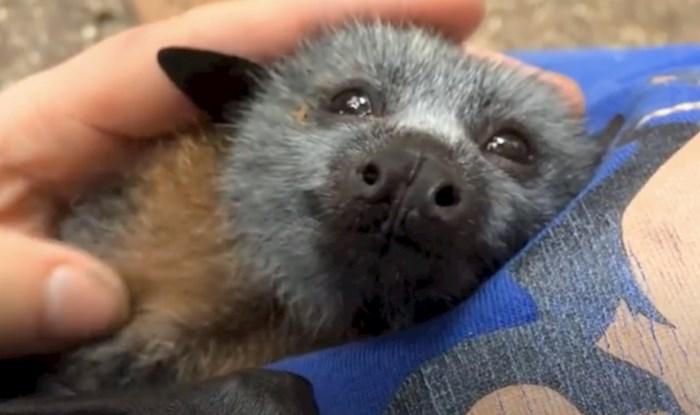 VIDEO Ovaj preslatki spašeni šišmiš obožava se češkati i maziti