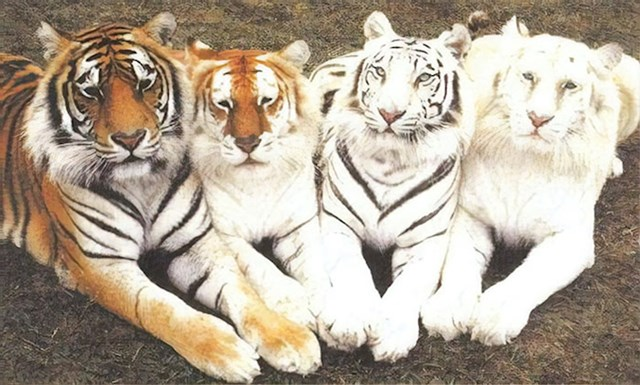 #3 Ako operete tigra pre često njegove boje će izblijediti