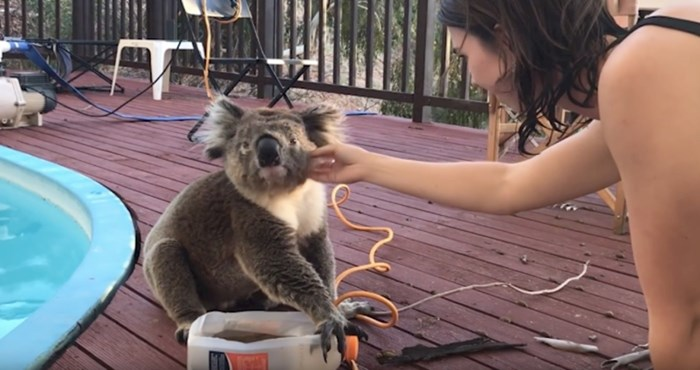 VIDEO  Pogledajte susret sa preslatkom koalom koja samo želi poljupce i zagrljaje