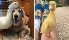 15 fotografija preslatkih patki koje će vam uljepšat dan