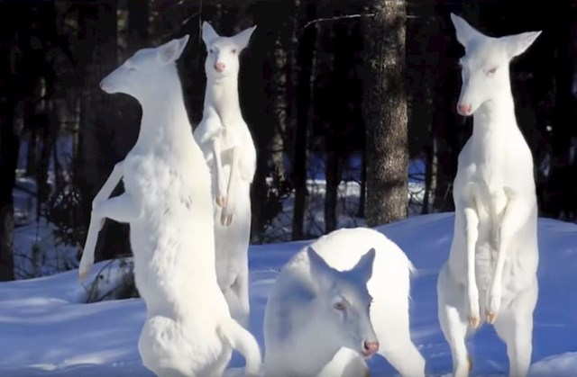 #3 Skupina albino jelena.