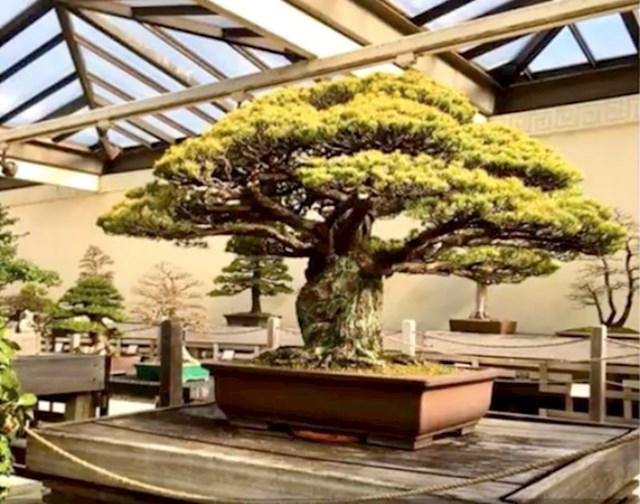 #2 400 godina staro bonsai stablo koje je preživjelo i bombardiranje Hirošime.