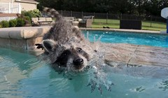 VIDEO Rakuni obožavaju plivati! Pogledajte kako je izgledalo Cheetovo prvo kupanje
