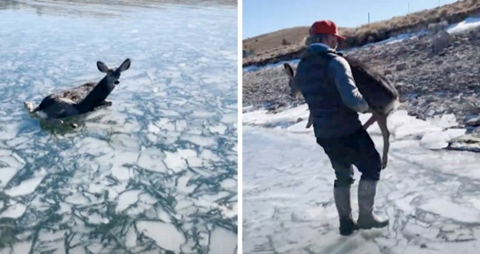 VIDEO Ovom jelenu ljudi su možda bili jedina šansa da prijeđe jezero