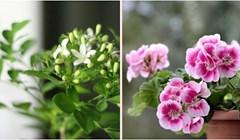 6 sobnih biljaka od kojih svaka soba u vašem domu može lijepo mirisati