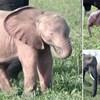 VIDEO Prirodno 'ružičasti' slonić ima rijetko stanje, snimljen je na jugu Afrike