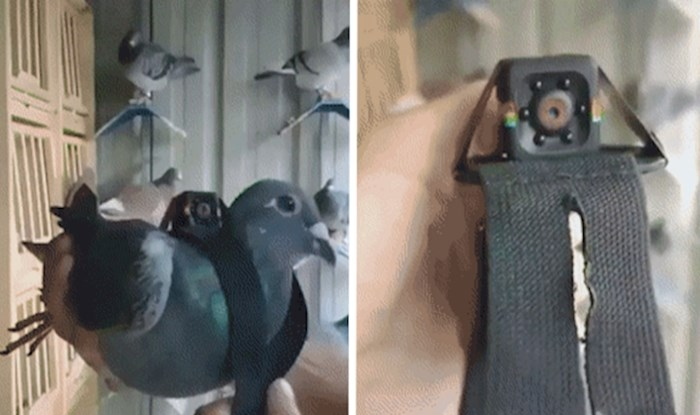 Uz pomoć ove kamerice možemo doživjeti svijet iz golubove perspektive