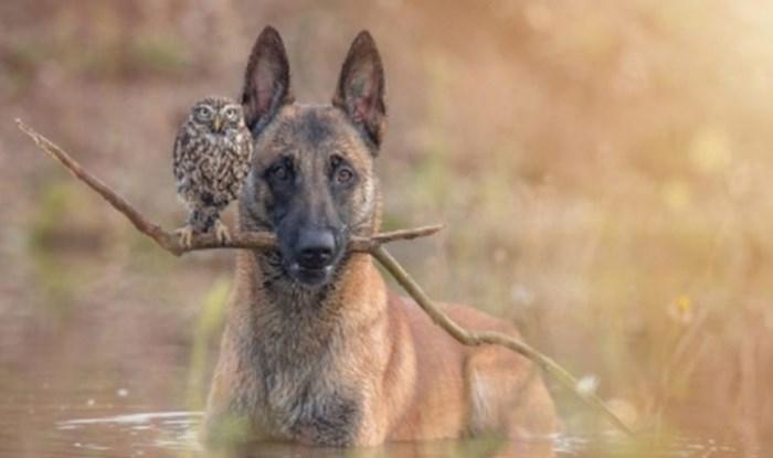 Oni su sova Poldi i belgijski ovčar Ingo, pogledajte kako izgleda ovo jedinstveno prijateljstvo