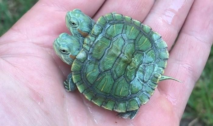 VIDEO Pogledajte kako izgleda rijetki primjer kornjače s dvije glave