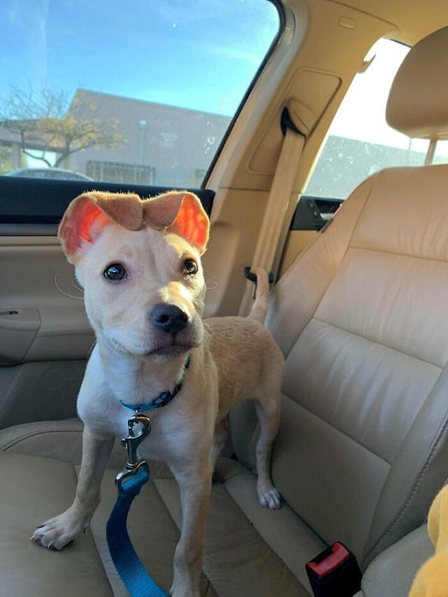 #6 Ovo je moj novi psić Sanoi! Stara je oko 14 tjedana i ne može shvatiti što učiniti s ušima.