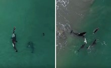 """VIDEO Nevjerojatna snimka """"kitova ubojica"""" koji se igraju s hrabrom plivačicom"""