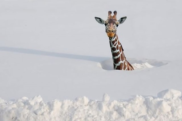 #11 Žirafe su razvile svoje duge vratove kako bi im pomogli da prežive čak i najdubljem arktičkom snijegu