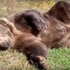 VIDEO Leo je prijateljski raspoložen medvjed koji obožava ljenčariti na suncu