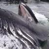 Pogledajte iznenađujući trenutak, ovako se grbavi kitovi hrane blizu obale