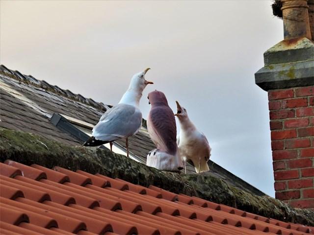 19. Vlasnik kuće na svoj krov stavio je lažnog sokola u nadi da će zastrašiti galebove, ali galebovima se na kraju svidio.