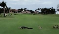 VIDEO Pogledajte kako izgleda kada bijesne patke jure aligatora po golf terenu