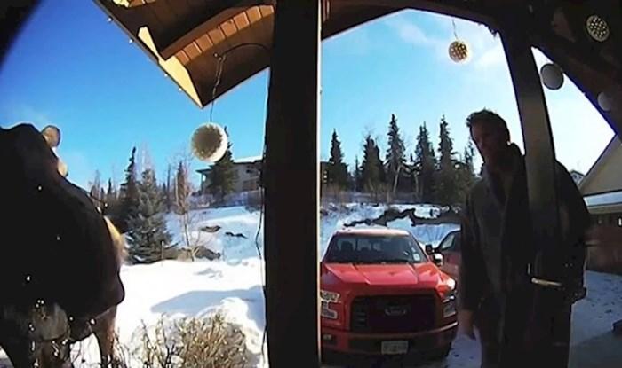 VIDEO Los se zapetljao u božićne lampice, pogledajte što se onda dogodilo