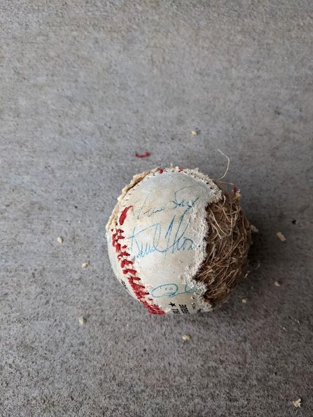 18. Fan bejzbola saznao je da je njegovu lopticu, koju su potpisali velikani Dodgersa 1981. godine (prvaka na tadašnjem World Series), uništio gladni štakor.