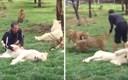 VIDEO Nevjerojatan trenutak, heroj tigar spasio je čuvara od napada leoparda