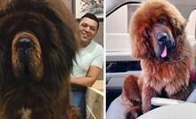 20 fotografija tibetanskog mastifa, masivnog psa koji je jako simpatičan