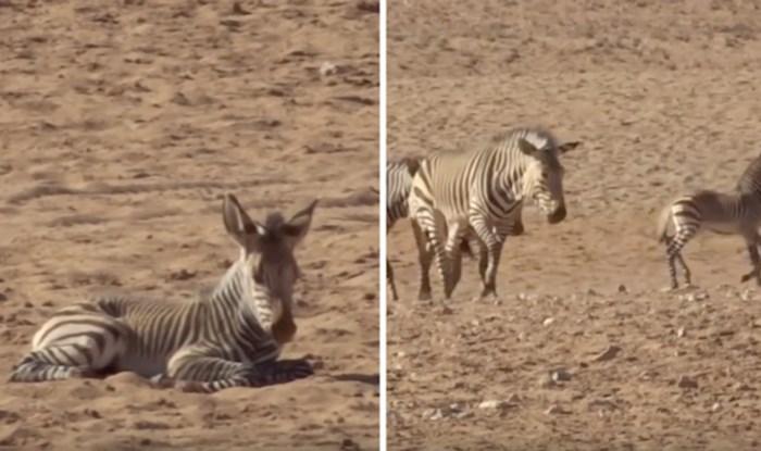 VIDEO Pogledajte prekrasan trenutak kada krdo zebra udomi napuštenu zebru