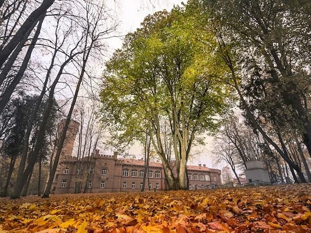 #3 Lipa u blizini dvorca Raudonė, Litva