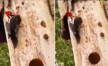U deblu ovog stabla krije se opasno iznenađenje za pticu