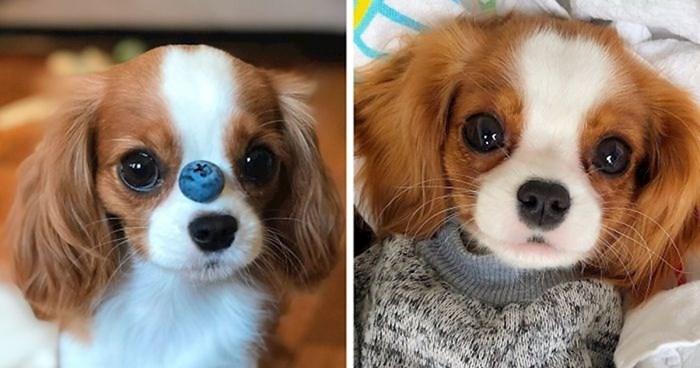Ovaj dvogodišnji pas toliko je sićušan da je teško vjerovati da je potpuno odrastao