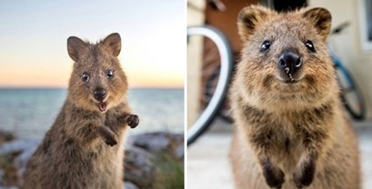 Upoznajte Quokku, australskog tobolčara koji izgleda kao da je ispao iz nekog od Disneyjevih crtića