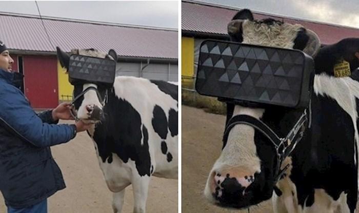 Ruski farmeri kravama stavljaju VR naočale, pogledajte zanimljiv razlog