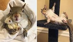 Ova vjeverica od kad je spašena od uragana ne može spavati bez medvjedića, a ljudi je obožavaju